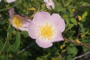 Fleurs-Etoiles - églantier