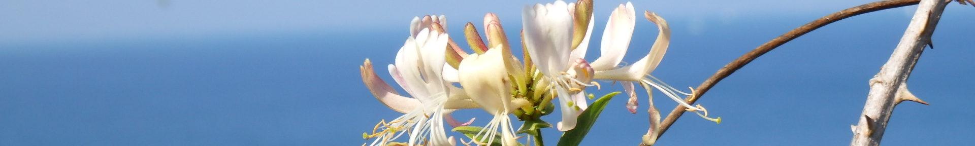 Fleurs-Etoiles